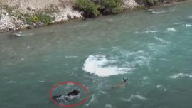 Grizzly chasing elk calf into river