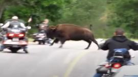 Bison vs Harleys