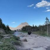 Bear at Glacier National Park