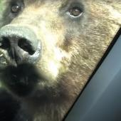 Curious grizzly investigates car