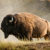 American Bison standing in Field