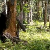 Bear vs Tree