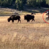 Biker harassing bison calf