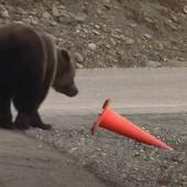 Bear looks at traffic cone