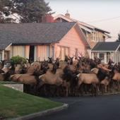 Elk herd in neighborhood