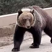 Grizzly bear approaching on bridge