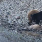 Bear cubs eat elk calf