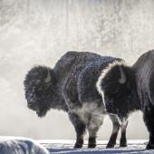Snow bison at Yellowstone