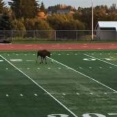 Moose playing soccer