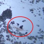Bear vs wolves in Yellowstone