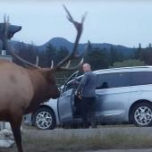 Elk versus photographer